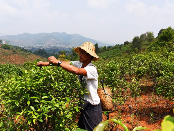Myanmar_Tee_Pflu-cken