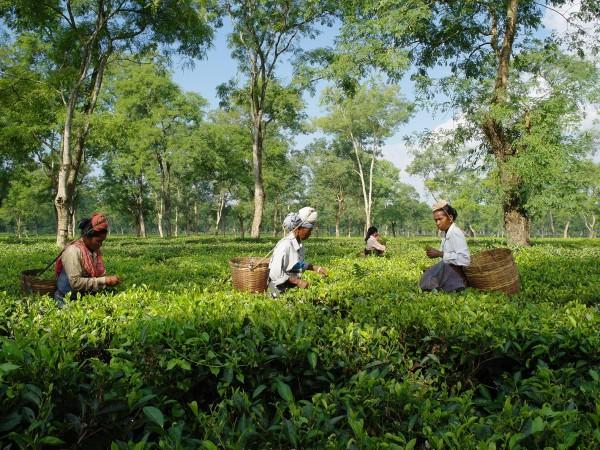 Teeplantage-Assam